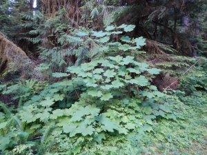 """Devil""""s Club Oplopanax horridus, garden Victoria BC Pacific Northwest"""
