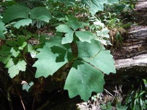 vanilla leaf, deer foot, achlys triphylla, garden Victoria BC Pacific Northwest