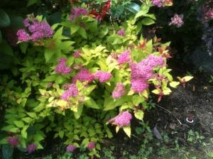 non-native spirea garden Victoria BC Pacific Northwest