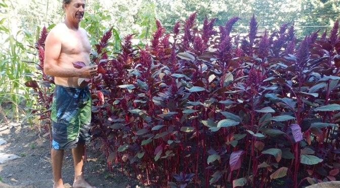 GB's stand of Amaranth, garden Victoria BC Pacific Northwest