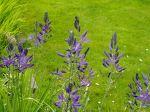 great camas in flower, garden Victoria BC Pacific Northwest