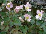 clematis montana in bloom garden Victoria BC Pacific Northwest