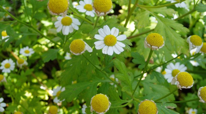 fever few in bloom & green seed head garden Victoria BC Pacific Northwest