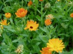 Calendula blooms & green seed heads garden Victoria BC Pacific Northwest