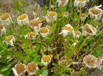 shasta daisy seed heads garden Victoria BC Pacific Northwest