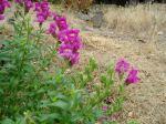 snapdragon in bloom garden Victoria BC Pacific Northwest