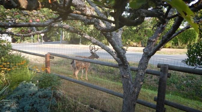 urban black tail deer bucks garden Victoria BC Pacific Northwest