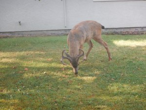 lack tail deer bucks garden Victoria BC Pacific Northwest