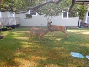 lack tail deer bucks garden Victoria BC Pacific Northwest