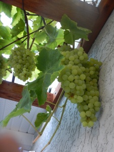 green grapes September 2015 garden Victoria BC Pacific Northwest