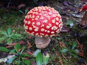 orange mushroom toad stool Alice In Wonderland, garden Victoria BC pacific northwest