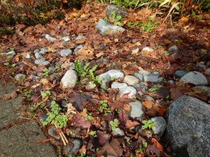 overgrown stone rock mulch , , garden Victoria BC Pacific North West