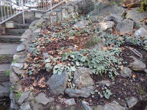 snowdrops blooming at Abkhazi Garden November 20, 2015 garden Victoria BC Pacific Northwest