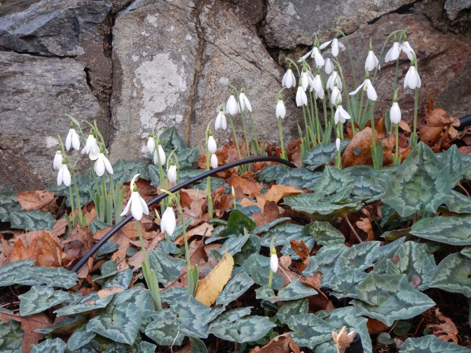 cyclamen and galanthus snowdrops blooming at Abkhazi Garden November 20, 2015 garden Victoria BC Pacific Northwest