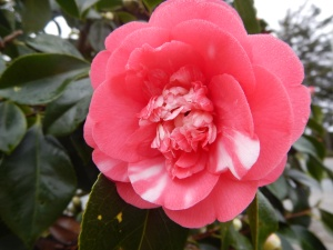 variegated camellia blooming in mid Februarygarden Victoria BC Pacific Northwest