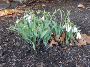 snowdrops blooming at Abkhazi Garden November 20, 2015 garden Victoria BC Pacific Northwest