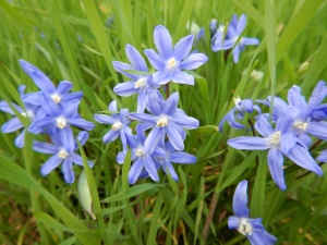 Glory of Snow, chionodoxa in Royal Oak at the Fireside Grill garden Victoria BC Pacific Northwest february