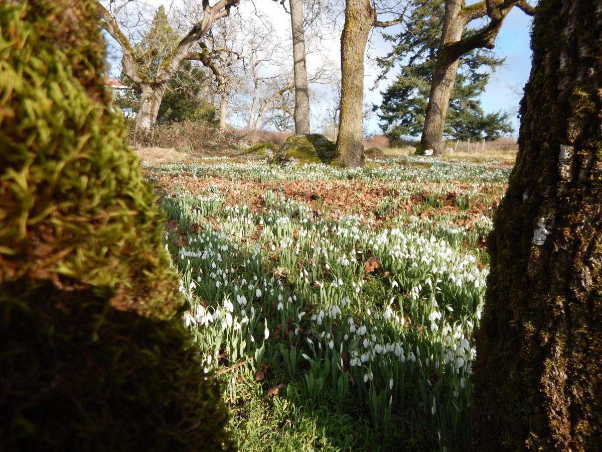 Meadow Blooms 6 - Snowdrops