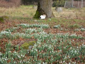 galanthus, an acre of snowdrops at the Fireside Grill garden Victoria BC Pacific Northwest