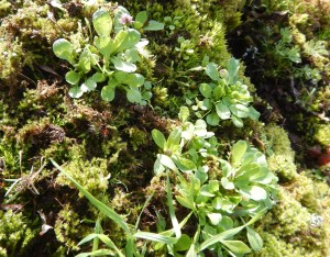 young sea blush Plectritis congesta in leaf garden Victoria BC Pacific Northwest