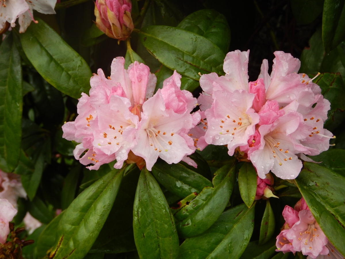 Pink Rhododendron Blooms in February