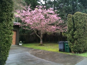 Pink blooming tree in mid February, garden Victoria BC Pacific Northwest