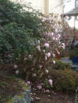 Pink blooming Rhododendron in February, garden Victoria BC Pacific Northwest
