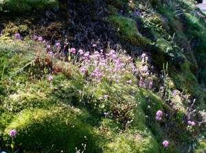 sea blush Plectritis congesta blooming mid april, garden Victoria BC Pacific Northwest