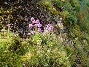 sea blush Plectritis congesta in flower, native plant, garden Victoria BC Pacific Northwest