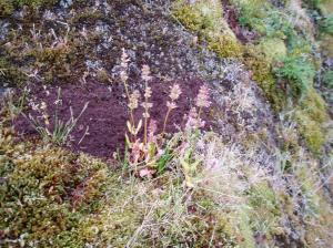 sea blush Plectritis congesta igoing to seed native plant, garden Victoria BC Pacific Northwest