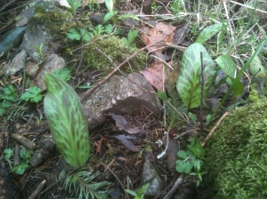 Erythronium Oregonum Fawn Lily garden Victoria, Vancouver Island, BC, Pacific Northwest