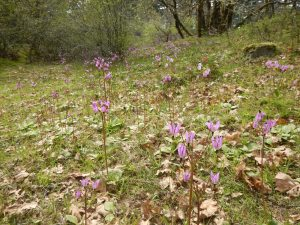 shooting star meadow, Dodecatheon hendersonii, garden Victoria, Vancouver Island, BC, Pacific Northwest