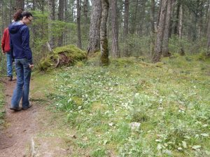 white fawnn lily meadow, Erythronium oregonum ,garden Victoria, Vancouver Island, BC, Pacific Northwest