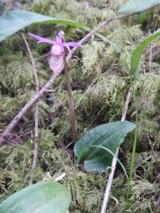 Fairy Slipper Calypso bulbosa orchid, garden Victoria, Vancouver Island, BC, Pacific Northwest