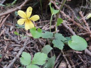 yellow violet, viola, garden Victoria, Vancouver Island, BC, Pacific Northwest