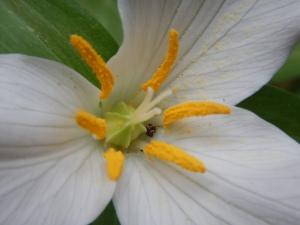 western trillium bloom, Trillium Ovatum, garden Victoria, Vancouver Island, BC, Pacific Northwest