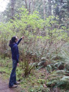 salmonberry shrub coming into leaf, Rubus spectabilis, garden Victoria, Vancouver Island, BC, Pacific Northwest