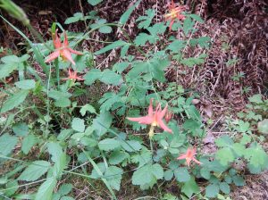 western red columbine, Aquilegia formosa, garden Victoria, Vancouver Island, BC, Pacific Northwest