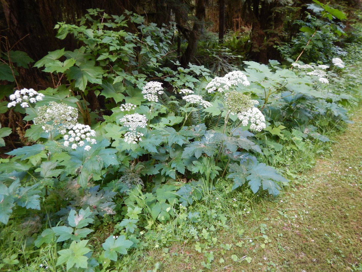 Roadside Veggies: Cow Parsnip, Indian Celery