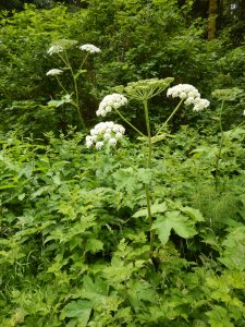 Cow Parsnip, Indian Celery, Heracleum lanatum garden Victoria, Vancouver Island, BC, Pacific Northwest