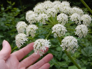 Cow Parsnip bloom, Indian Celery, Heracleum lanatum garden Victoria, Vancouver Island, BC, Pacific Northwest