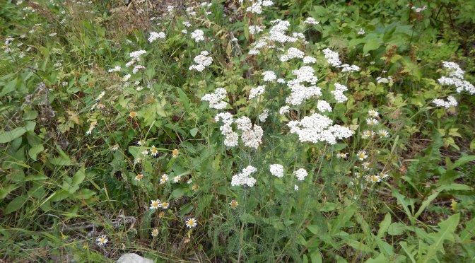 yarrow achillea millefolium garden Victoria, Vancouver Island, BC, Pacific Northwest