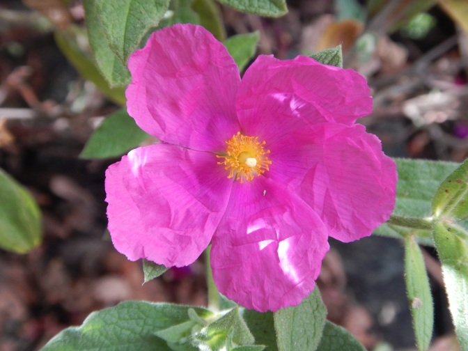cistus, sunset rock rose, garden Victoria, Vancouver Island, BC, Pacific Northwest