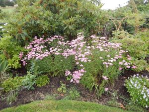 yarrow achillea millefolium pomegranate garden Victoria, Vancouver Island, BC, Pacific Northwest