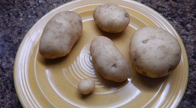 the Kennebec potato harvest from my 2 pota garden Victoria, Vancouver Island, BC, Pacific Northwest