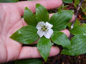 bunchberry, Cornus canadensis, dwarf dogwood,, creeping dogwood, dwarf cornel, crackerberry,, native wildflower, garden Victoria BC Pacific Northwest