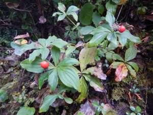 bunchberry, Cornus canadensis, dwarf dogwood,, creeping dogwood, dwarf cornel, crackerberry,, native wildflower, garden Victoria BC Pacific Northwest