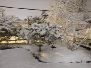 Arbutus unedo bending under the weight of snow garden Victoria BC Pacific Northwest