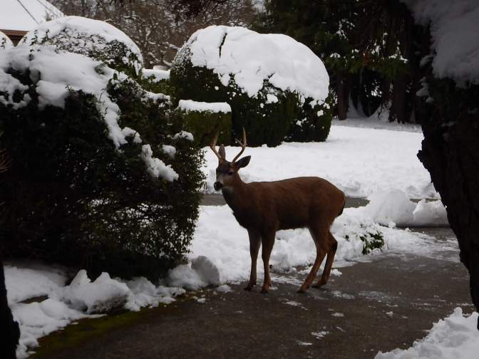 urban black tail deer buck feasting on shrub garden Victoria BC Pacific Northwest