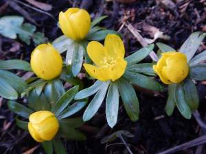 winter aconite, eranthis in early February garden Victoria BC Pacific Northwest